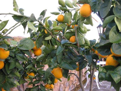 """El """"señor mandarino"""" con sus ricas mandarinas"""